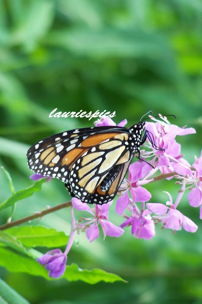 8x10 print, original photography, Monarch butterfly, butterfly print, nature