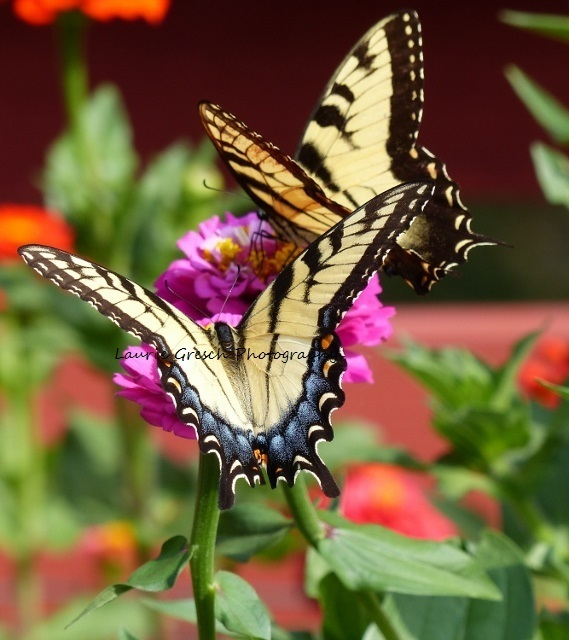 5x7 print, original photography, Tiger Swallowtail butterflies, nature print,