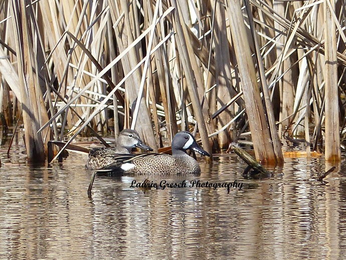 5x7 print, original photography, Blue Wing Teal ducks, nature print, Minnesota