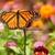 5x7 print, original photography, Monarch butterfly print, butterfly print,