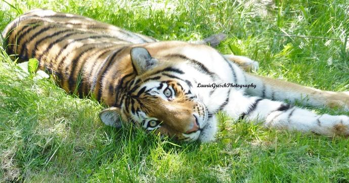 8x10 print, original photography, Siberian Tiger, Minnesota, tiger print, nature