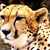 Face Of A Cheetah Cross Stitch Pattern - Instant Digital Downloadable Pattern