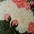 """Painting Print, 8.5x11, """"Southern Roses"""", Giclée Floral Painting Print, Flower"""