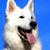 Swiss Shepherd Dog Cross Stitch Pattern - Instant Digital Downloadable Pattern