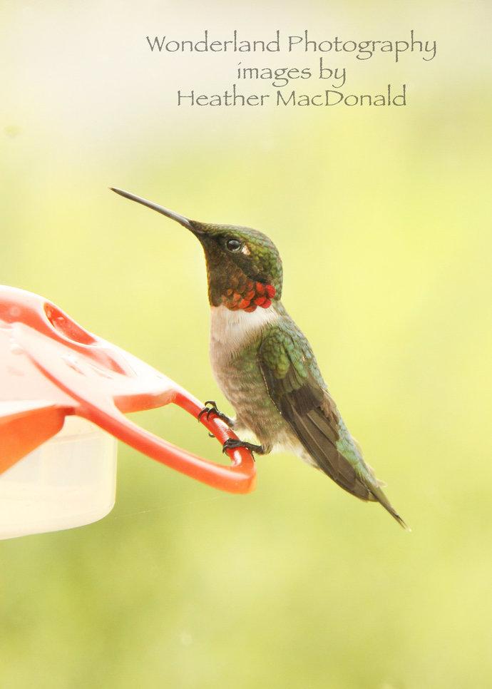 Humming Bird Photograph 5x7 Matted Print