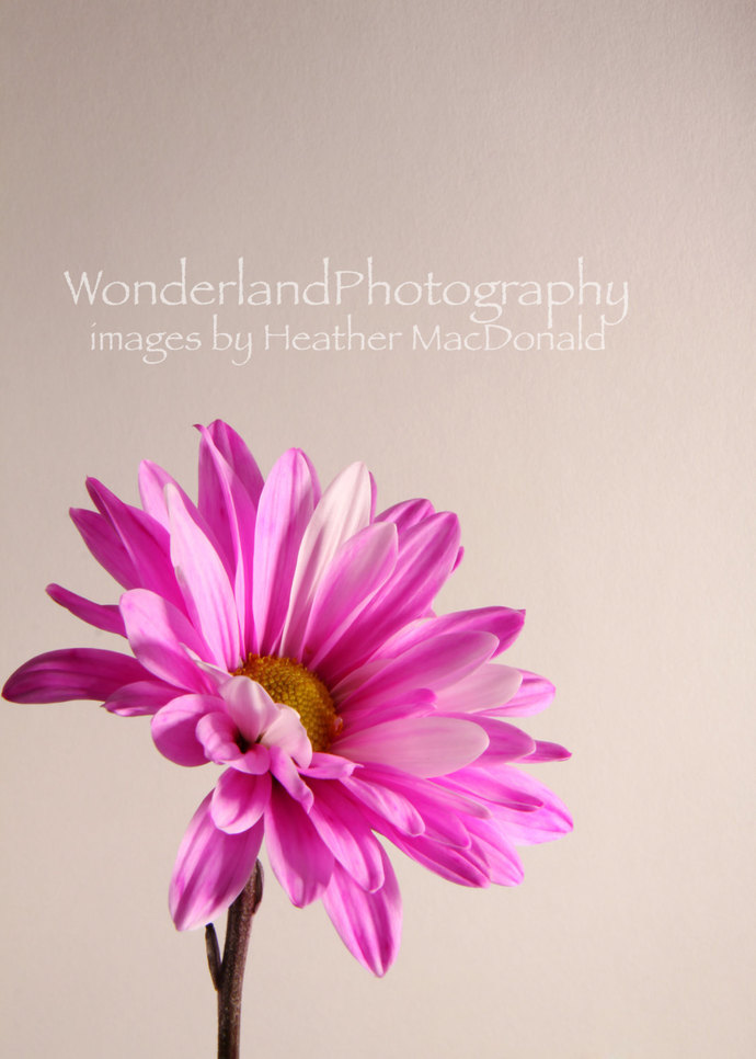 Flower 4 Lisa / Pink Daisy Photograph 8x10 Matted Print