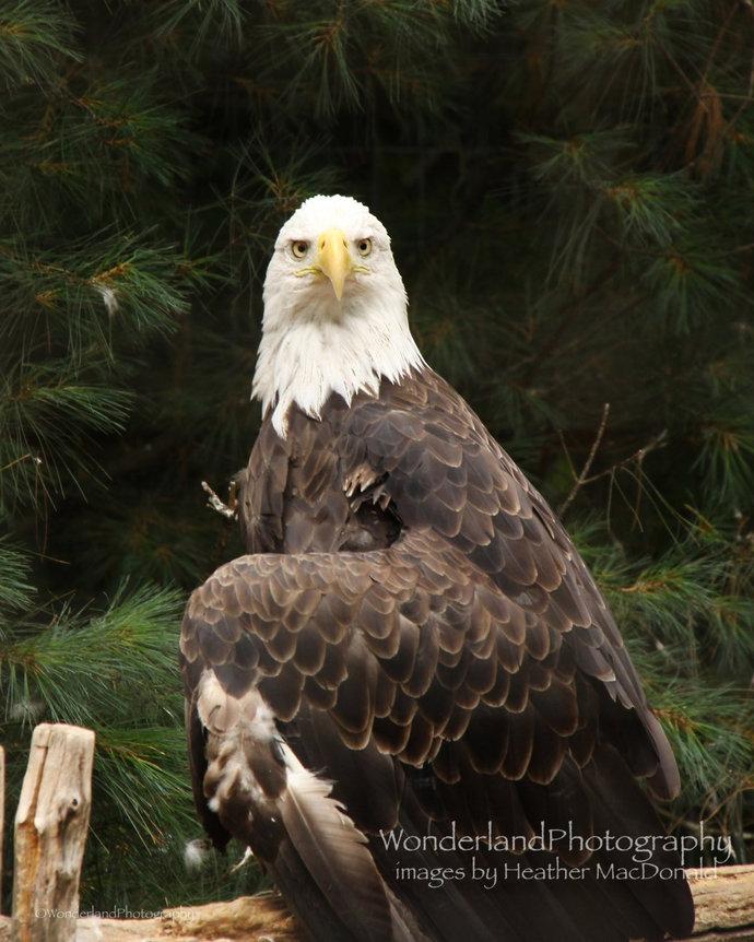 Bald Eagle Photograph 8x10 Matted Print