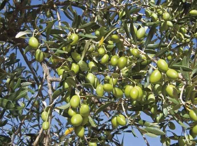Olive Tree - 'Mission' - Olea Europaea - live plant