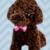 Spoofing Toy Poodle (dark brown)