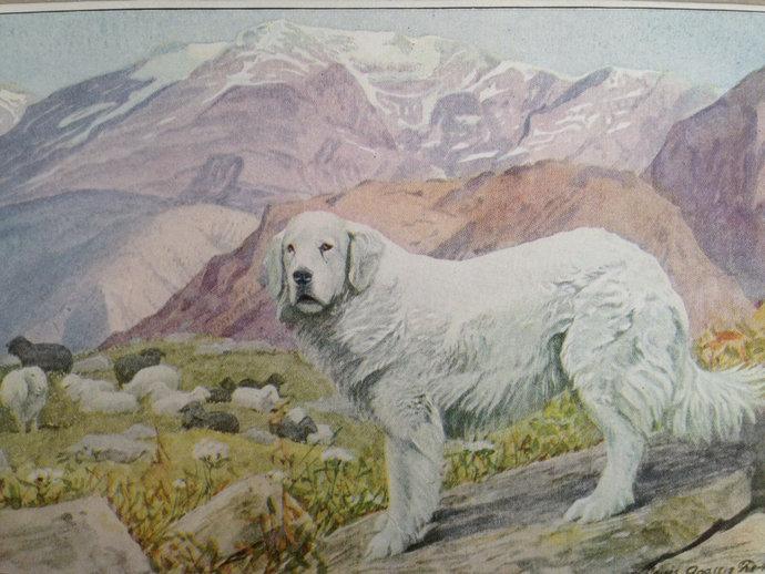 PYRENEAN SHEEP mountain dog Louis Agassiz Fuertes Vintage Mounted 1919 plate