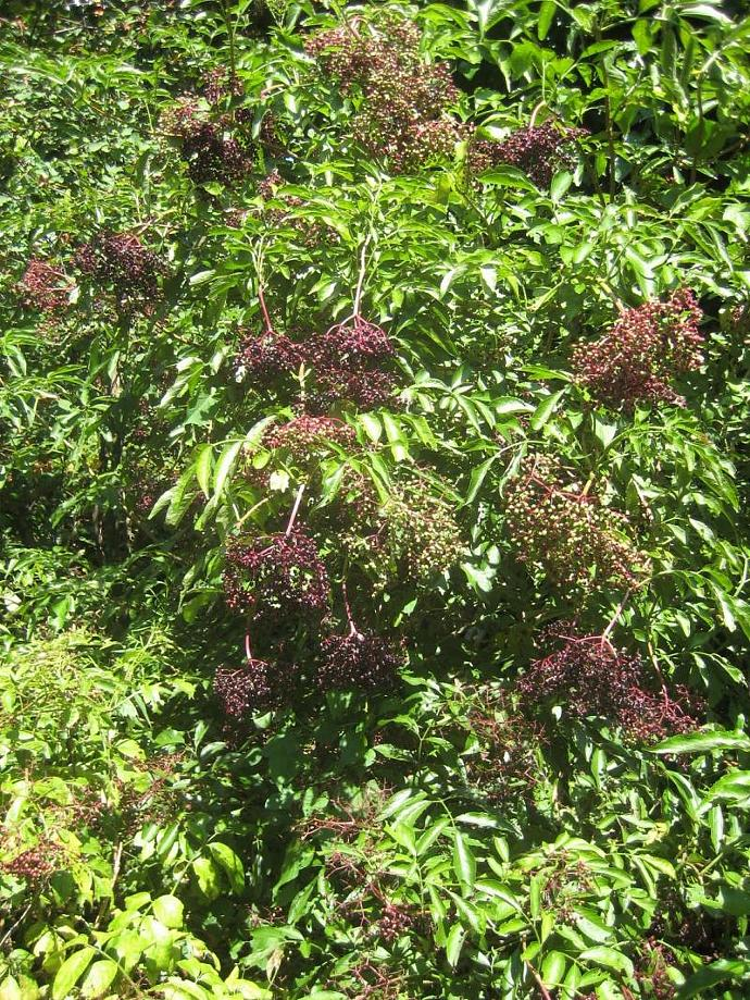 Elderberry Syrup Immune System Booster, Sambucus nigra