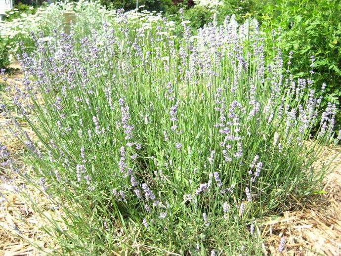 Face and Body Lavender Raw Sugar Scrub, Exfoliation