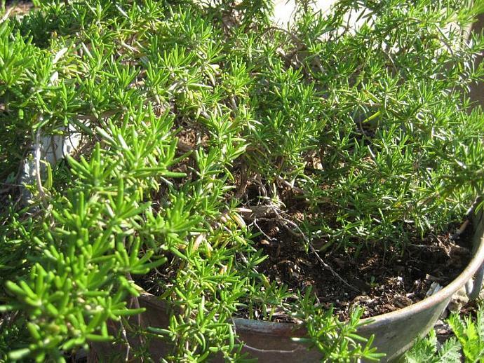 Rosemary/Lavender Body Spray, Invigorating, Refreshing