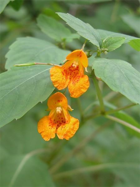 Poison Ivy, Stinging Nettles Relief Body Spray, Jewelweed