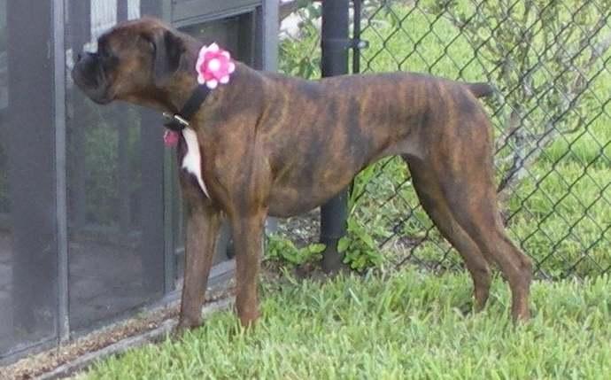 Felt dog collar flower, photo prop  ~ Boxer Friends Rescue felt flowers ~ made
