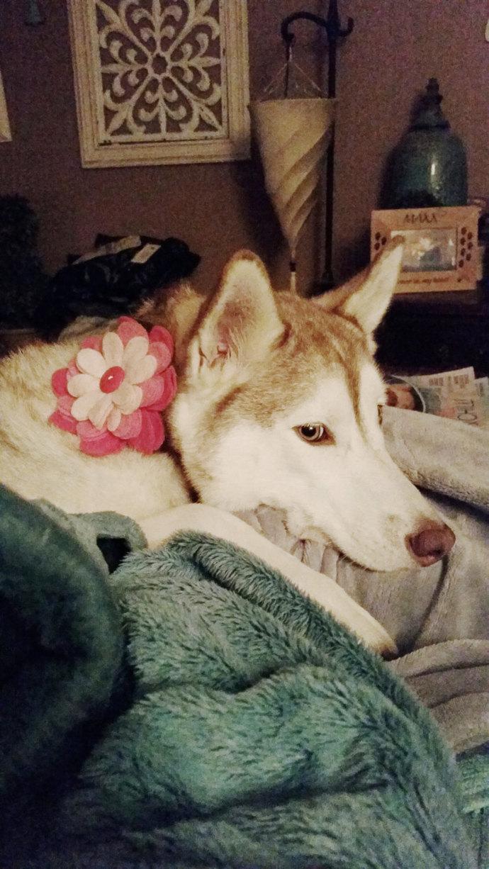 Felt dog collar flower, photo prop, L/XL  ~ Boxer Friends Rescue felt flowers ~