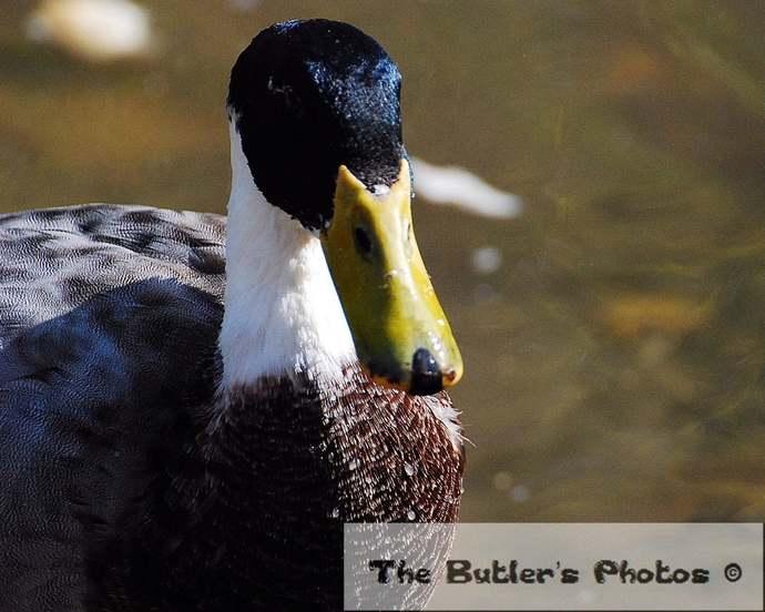 Duck Photograph, Black Head Duck With White Neck Photo, Water Bird Photo,