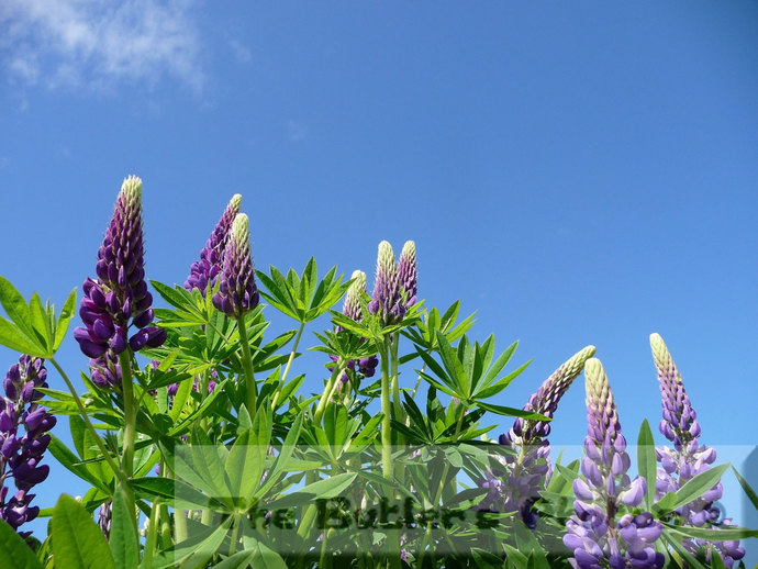 Lupine Flowers Photograph, Field Of Lupines Photo, Purple Spring Flowers,  Wild