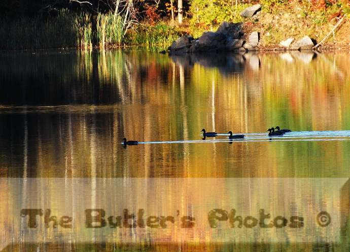 Photograph, Autumn Ducks In River, Fall Golden Landscape, Wall Decor, Home