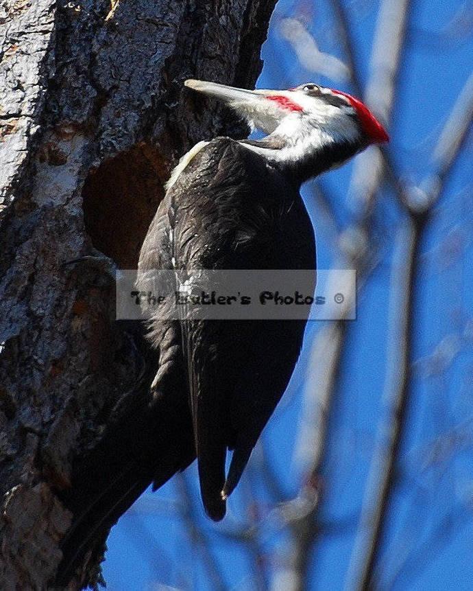 Palliated Woodpecker Photograph, Photo Print, Wall Art, Large Bird In A Tree