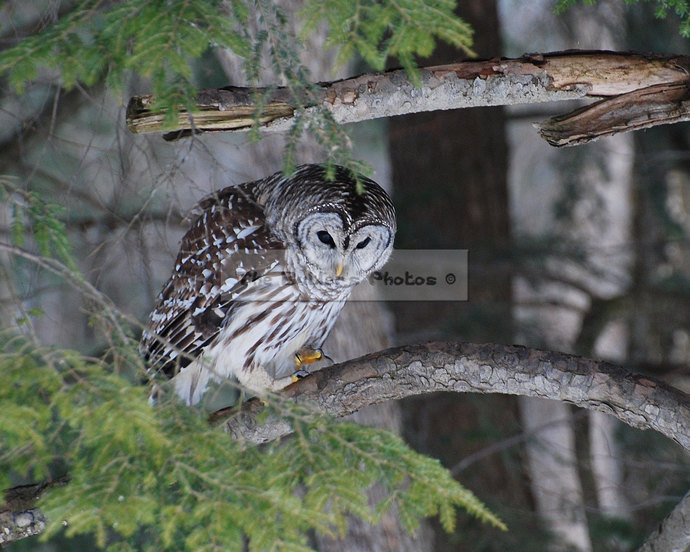 Owl Photograph, Barred Owl Print, Perched Predator Owl, Wildlife Nature Wall