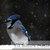 Blue Jay Photograph,  Fine Art Photo, Wall Art Decor, Winter Bird Photo, Royal