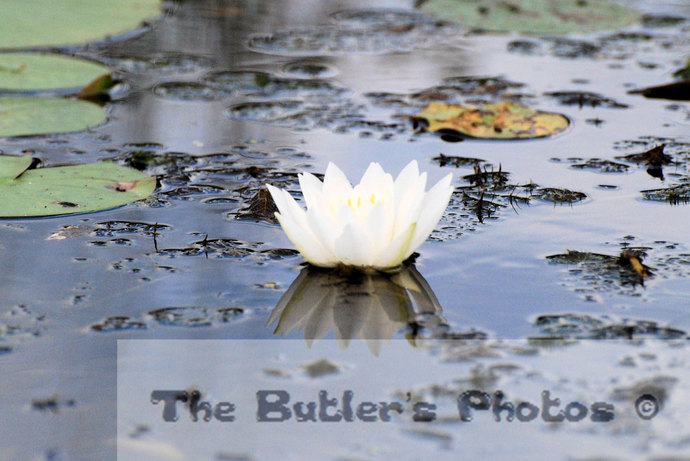White Water Lily Photograph, Pond Lily Photo, Elegant Water Lily Wall Art, Color