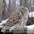 Barred Owl Photograph, Sleeping Barred Owl, Print Of Owl, Wall Art Print, Color