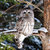 Photograph of a Barred Owl, Predator Owl Photo, Barred Owl Photograph, Large