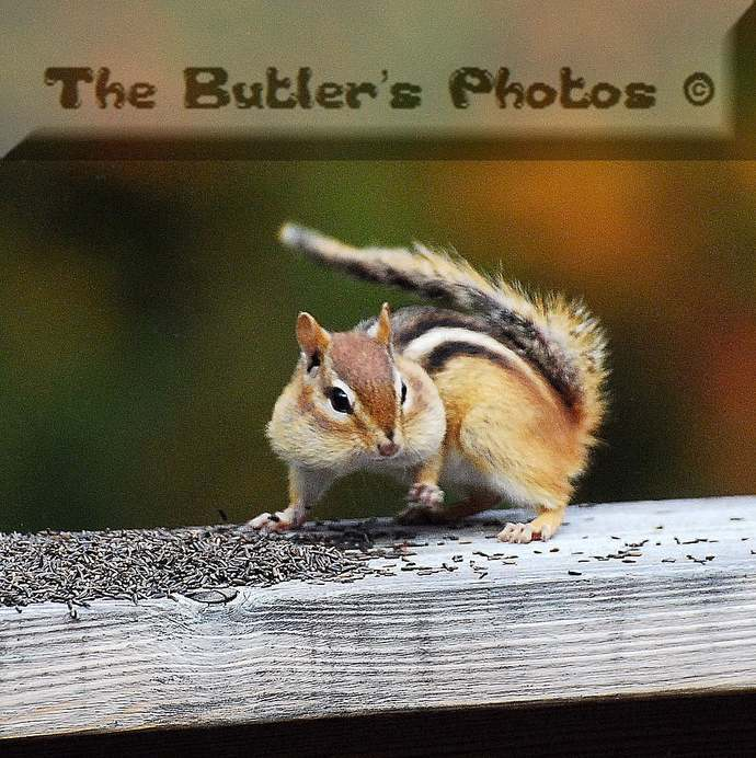 Chipmunk Sitting On A Fence Stuffing His Face, Cute Small Rodent Animal