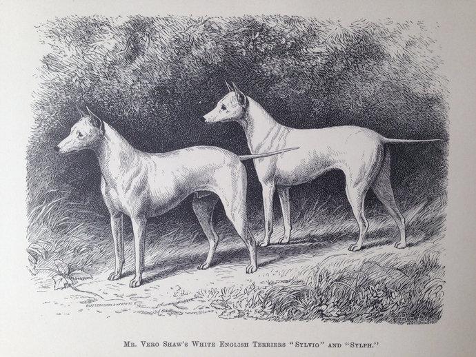 White ENGLISH TERRIER dogs ANTIQUE lithograph illustration Print 1886 London  J