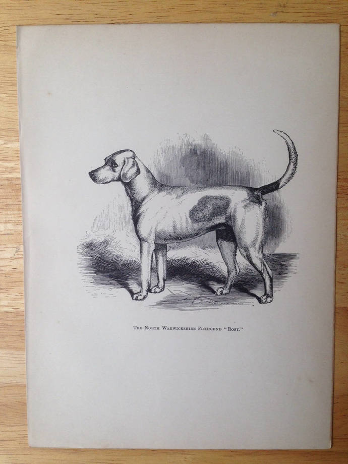 FOXHOUND dog ANTIQUE lithograph illustration Dog Print Rosy 1886 London