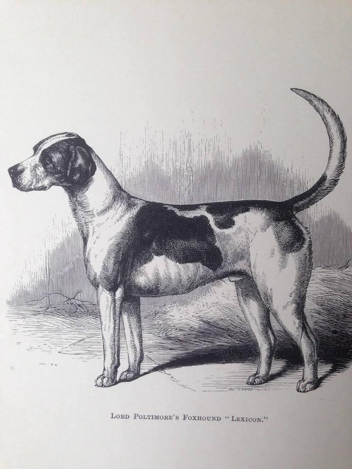 FOXHOUND dog ANTIQUE lithograph illustration Dog Print Lexicon 1886 London