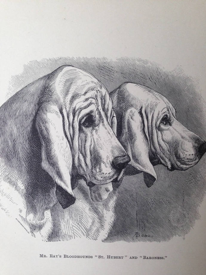 BLOODHOUND dog ANTIQUE lithograph illustration Dog Print 1886 London Stonehenge
