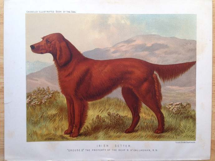 IRISH Red SETTER ANTIQUE Chromolithograph Dog Print 1881 by Vero Shaw Cassells