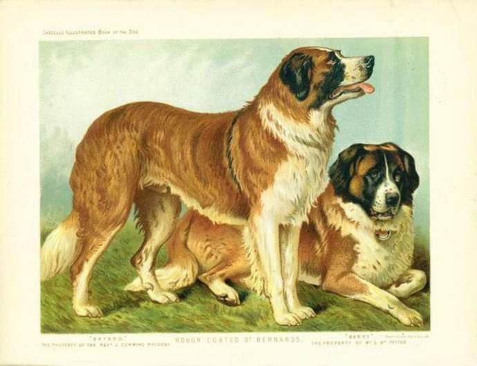 Rough coated ST BERNARDS Dogs ANTIQUE Chromolithograph Dog Print 1881 Vero Shaw
