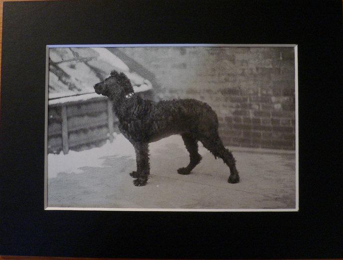 IRISH WATER SPANIEL Dog Antique mounted 1913 Plate print Vero Shaw Mounted print