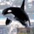Killer Whale Jumping 200 x 260 SC Graphghan crochet graph pattern