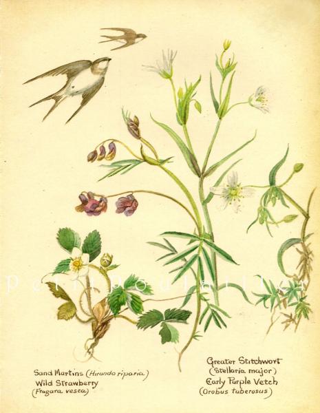 Edith Holden Edwardian Country Garden Botanical Lithographs,