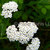 White Yarrow Wildflowers Fine Art Photography Postcard, Floral, Outdoors,