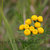 Common Tansy Flowers Fine Art Postcard, Yellow, Floral, Wildflowers, Outdoors,