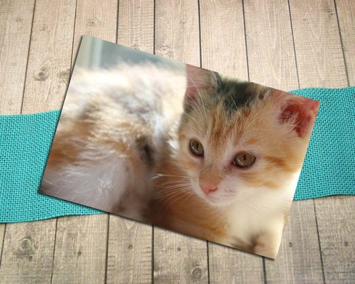 Kitten Close Up Fine Art Photography Postcard, Sweet, Kitty, Cat, Calico, Young,