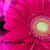 Gerbera Daisies Up Close, Fine Art Postcard, Flowers, Floral, Bright Colors,