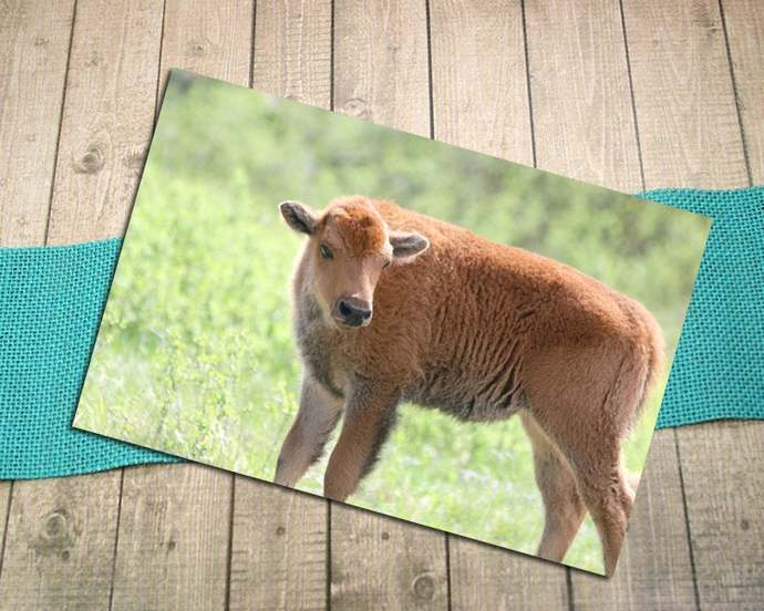 Baby Bison, Cinnamon Fine Art Photography Postcard, Spring, New Life, Baby
