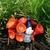 Boris the Basking Garden Gnome, Tiny Garden Gnome