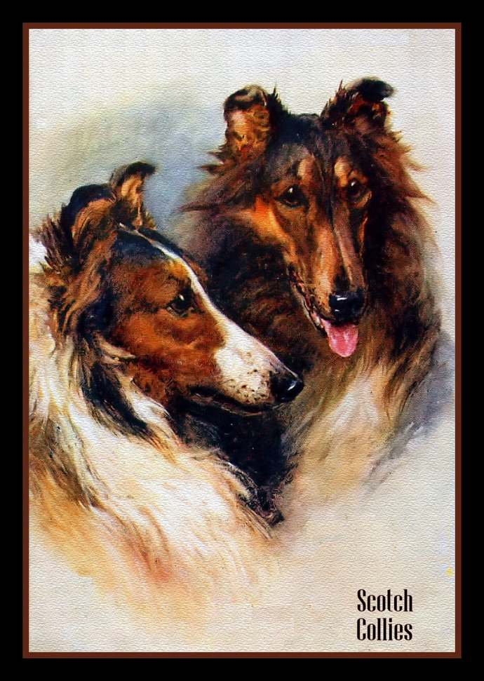 Scotch Collie Dogs Refrigerator Magnet