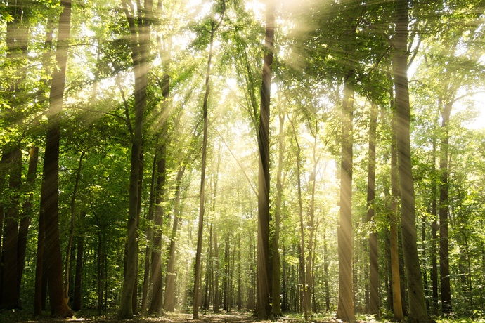 Sun Rays Through Treetops in the Forest Rural - Farmhouse Landscape Photograph