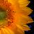 Close-up Sunflower Floral / Botanical Nature Photograph Wall Art Prints