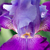 Glowing Iris Floral / Botanical Nature Photograph Wall Art Prints