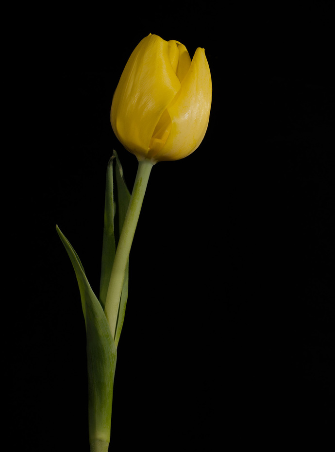 Yellow Tulip on Black Background 5 Floral / Botanical Nature Photograph Wall Art